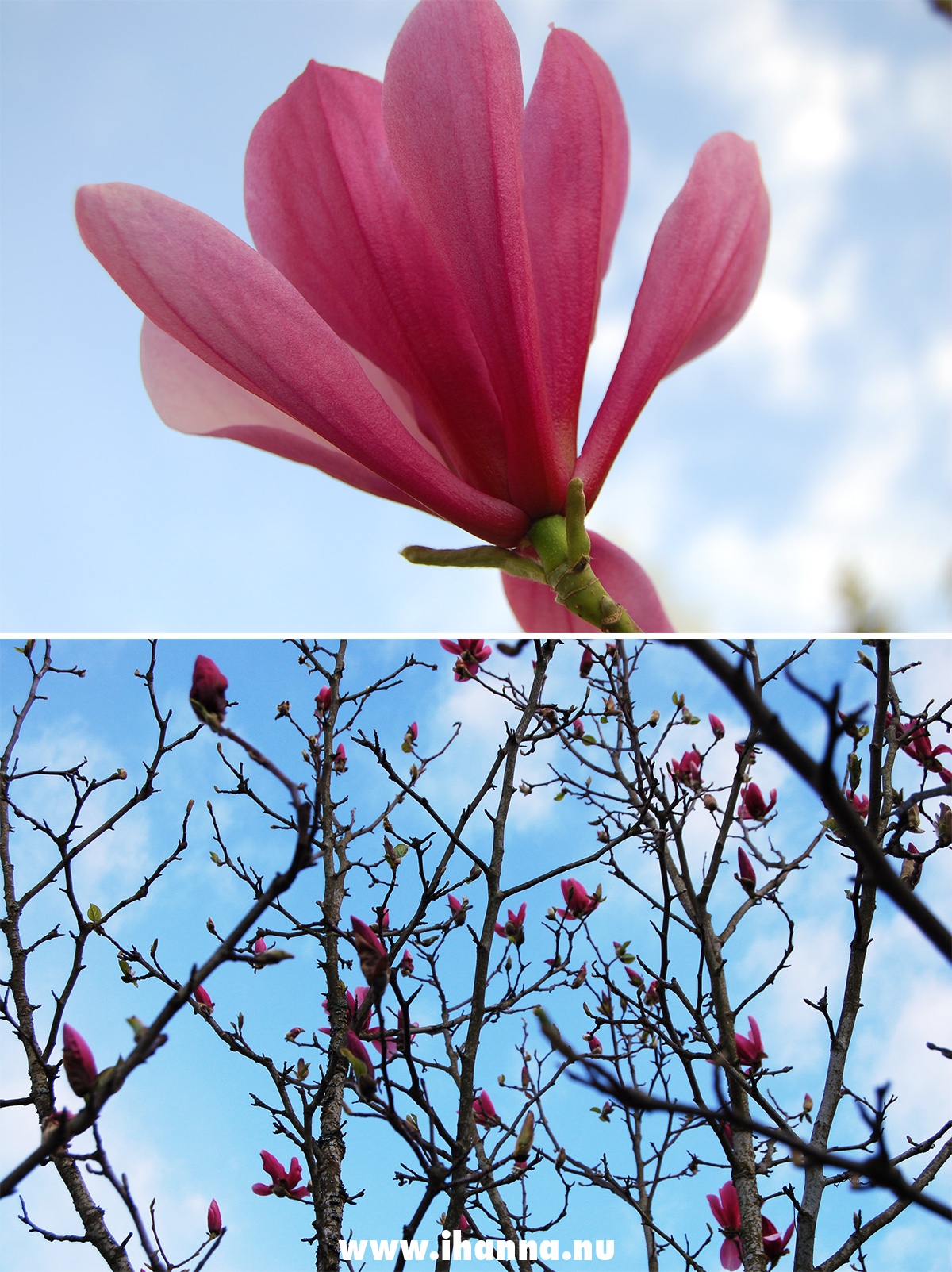 Dad's Magnolia Tree by iHanna - Photo Hanna Andersson