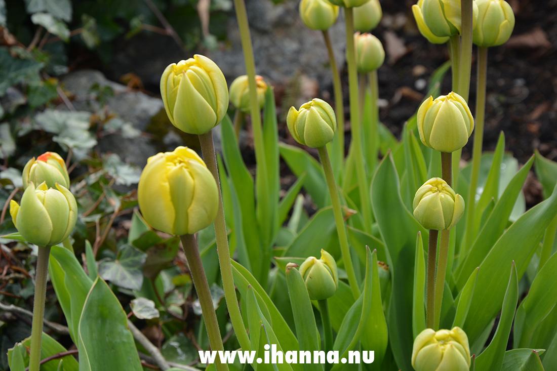 Tulip buds / balls
